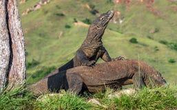 Combat des dragons de Komodo pour la domination photographie stock libre de droits