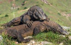 Combat des dragons de Komodo pour la domination photographie stock