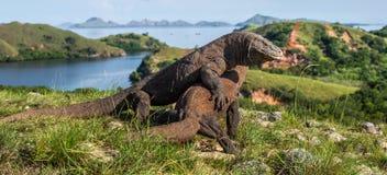 Combat des dragons de Komodo pour la domination photo libre de droits