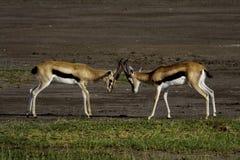 Combat des gazelles de Thomson Photo libre de droits