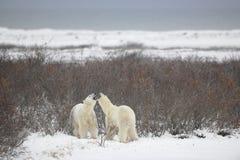 Combat des ours blancs. 21 Photo stock