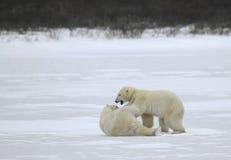 Combat des ours blancs. Image libre de droits