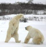 Combat des ours blancs Image libre de droits