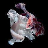 Combat des poissons de Betta photographie stock libre de droits