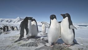 Combat en gros plan de deux pingouins Tir de l'Antarctique banque de vidéos