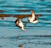 Combat en vol--Pluviers combattant dans le ciel Photographie stock