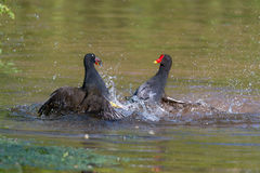 Combat femelle de deux poules d'eau Photographie stock libre de droits