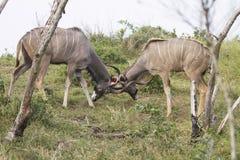 Combat Kudu photographie stock libre de droits