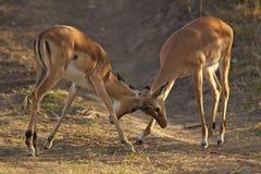 Combat mâle de deux jeune impalas Image stock