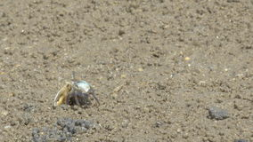 Combat masculin de crabes de violoneur clips vidéos