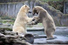 Combat masculin et morsure de deux ours blancs Haut étroit d'ours blancs L'Alaska, ours blanc Grand ours blanc au printemps dans  Photo libre de droits