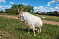 In a combat position. Goat with big horns in a combat position royalty free stock images