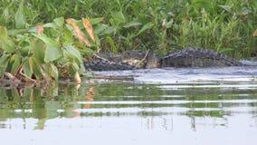 Combat territorial d'alligators pendant la saison d'accouplement banque de vidéos