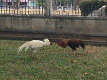Combat thaïlandais de poulet Images libres de droits