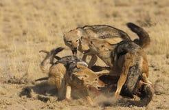 Combate com o dorso negro do chacal na carcaça Fotografia de Stock