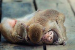 Combatiente del mono Foto de archivo