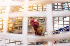 Combatiente tailandés del gallo en el gallinero de bambú Imágenes de archivo libres de regalías