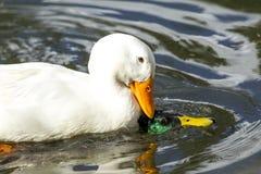 Combats de canard de Pekin avec le canard Image stock