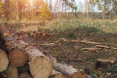 Combattant l'écorce de scarabée les scarabées, abattage des arbres, facilite le scarabée d'écorce malade et infecté d'arbres photo libre de droits