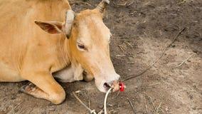 Combattente che si trova sulla terra, combattente del toro della mucca Fotografie Stock