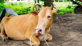Combattente del toro che si trova sulla terra Fotografie Stock