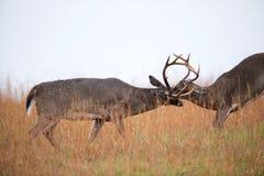 Combattere dei dollari dei cervi dalla coda bianca Fotografie Stock Libere da Diritti