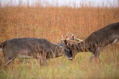 Combattere dei dollari dei cervi dalla coda bianca Fotografia Stock