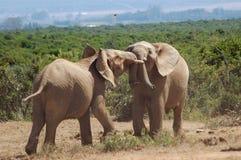 Combattimento degli elefanti di Bull Immagini Stock