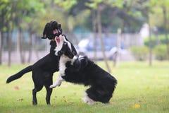 Combattimento dei cani Immagini Stock Libere da Diritti