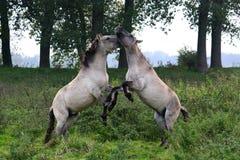 Combattimento dei cavalli selvaggi Fotografia Stock