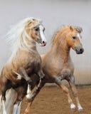 Combattimento dei cavallini di lingua gallese Immagine Stock