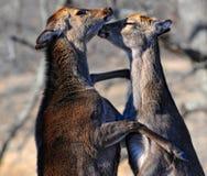 Combattimento dei cervi Fotografia Stock
