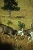 Combattimento dei dollari dei cervi di mulo Fotografie Stock Libere da Diritti