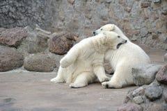 Combattimento dei due un piccolo orsi polari Fotografia Stock