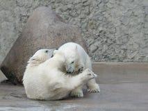 Combattimento dei due un piccolo orsi polari Fotografie Stock