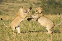 Combattimento dei leoni fotografia stock