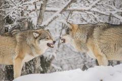 Combattimento dei lupi Immagini Stock Libere da Diritti
