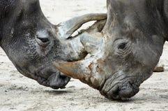 Combattimento dei Rhinos Immagine Stock Libera da Diritti