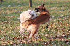 Combattimento del cane Fotografie Stock Libere da Diritti