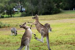 Combattimento del canguro nel tomango Australia Fotografia Stock Libera da Diritti