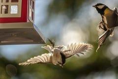 Combattimento del capezzolo e della cinciallegra del salice ad una tavola dell'uccello fotografia stock
