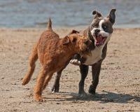 Combattimento del gioco dei cani Fotografie Stock
