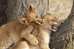 Combattimento del gioco dei cubs di leone, Serengeti Fotografia Stock
