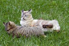 Combattimento del gioco dei gatti Fotografie Stock