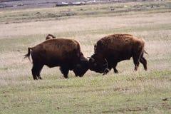 Combattimento del gioco del bisonte Fotografia Stock