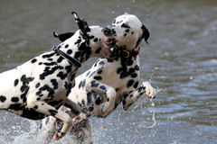 Combattimento del gioco di dalmati in acqua Fotografia Stock Libera da Diritti