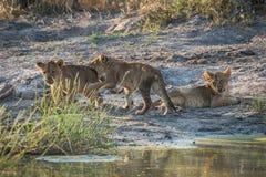 Combattimento del gioco di due cuccioli di leone accanto ad un altro Fotografia Stock
