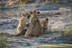 Combattimento del gioco di due cuccioli di leone da un altro Fotografia Stock