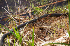 Combattimento del Natrix del Natrix del serpente di erba due per il pesce pescato Fotografia Stock