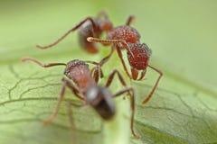 Combattimento della formica Immagini Stock Libere da Diritti